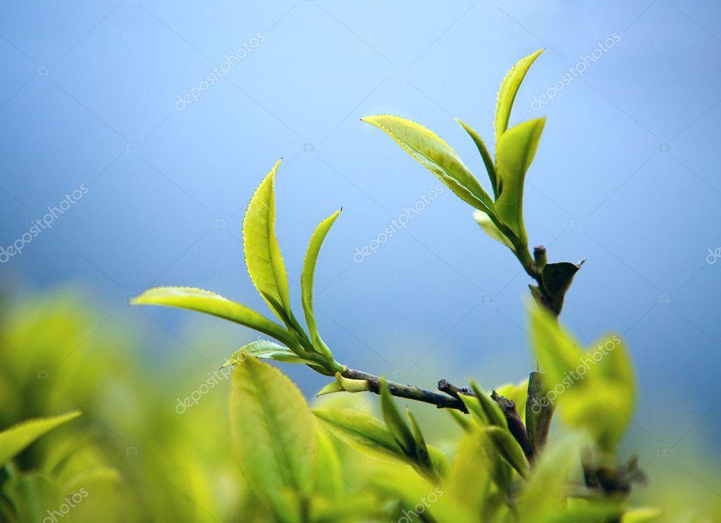 Young tea