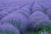 Fotografie Lavender