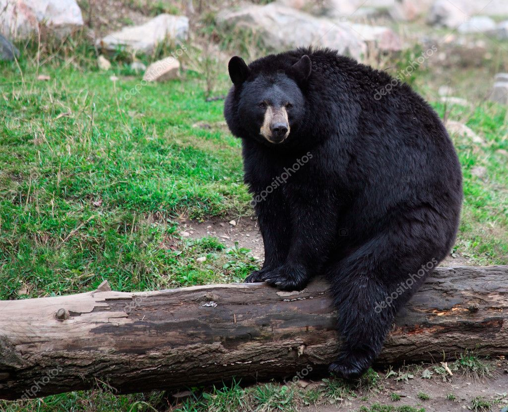 American Black Bear Sitting