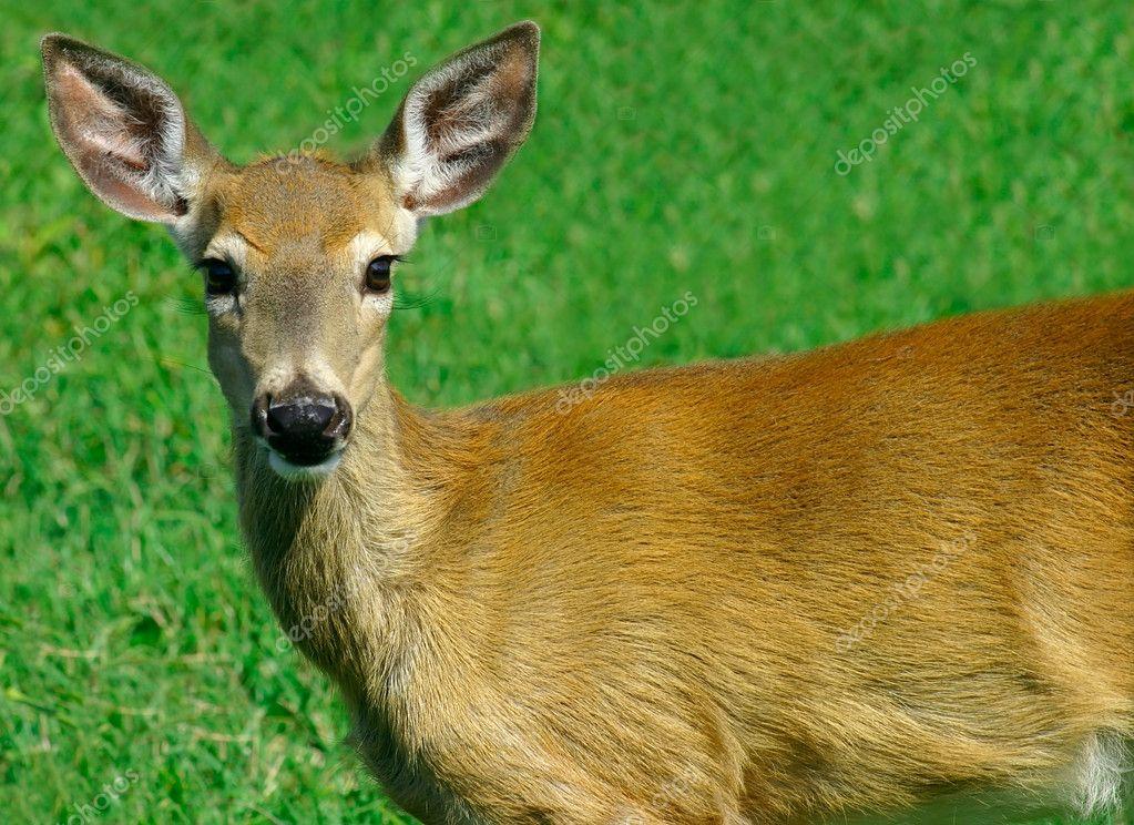 Deer Looking at Us