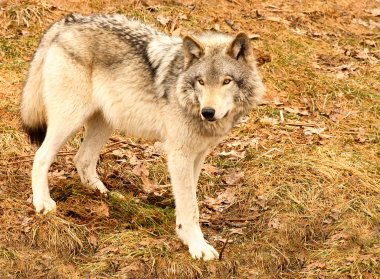 Gray Wolf on a Spring Day