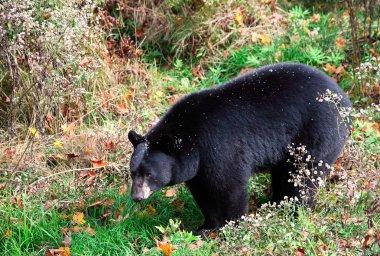 American Black Bear Walking