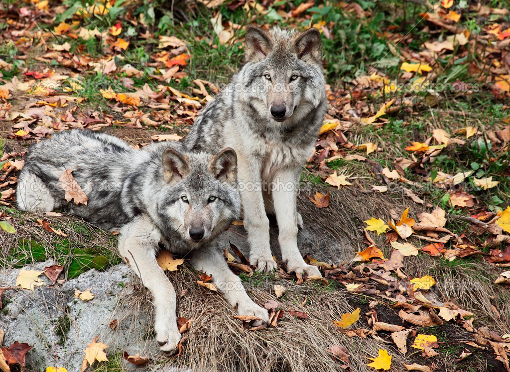Two Gray Wolves Looking at the Camera