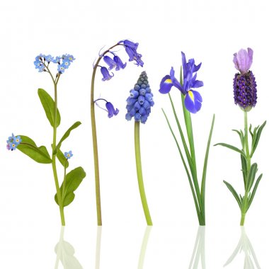 Selection of blue flowers in spring, isolated over white background with reflection. stock vector