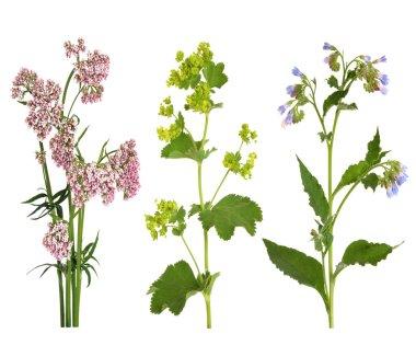 Medicinal Herbs in Flower