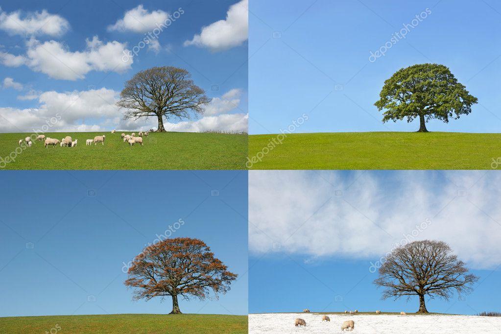 Four Seasons of the Oak Tree