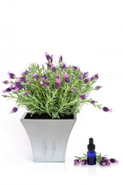 Lavender Herb Plant and Essence