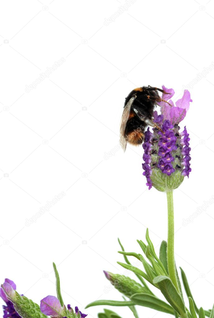 Bumblebee and Lavender Herb Flowers