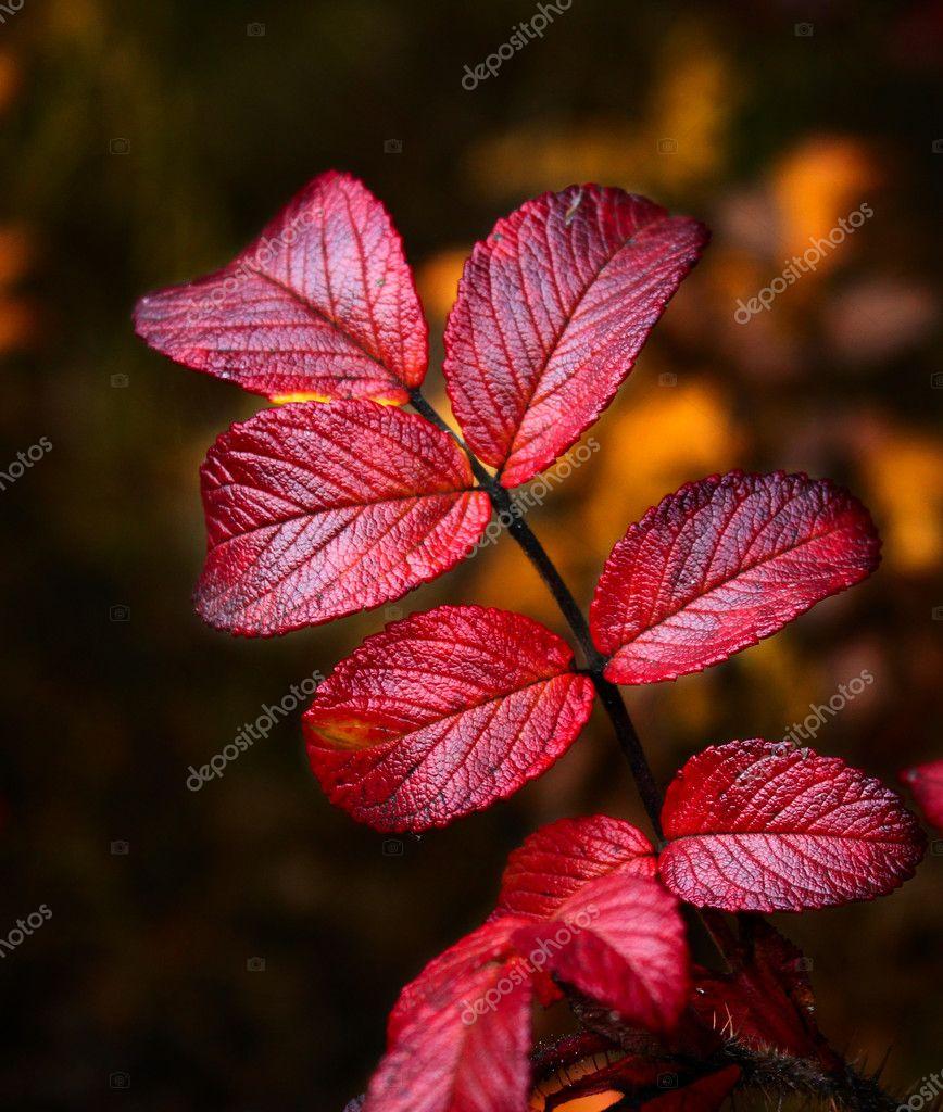 Wild rose autumn leaves