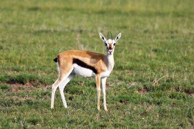 Thomson Gazelle Portrait