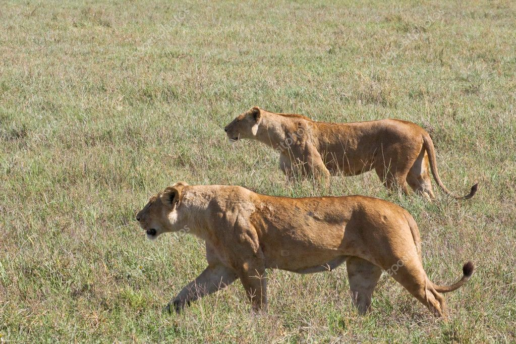 Lionesses on the Prowl
