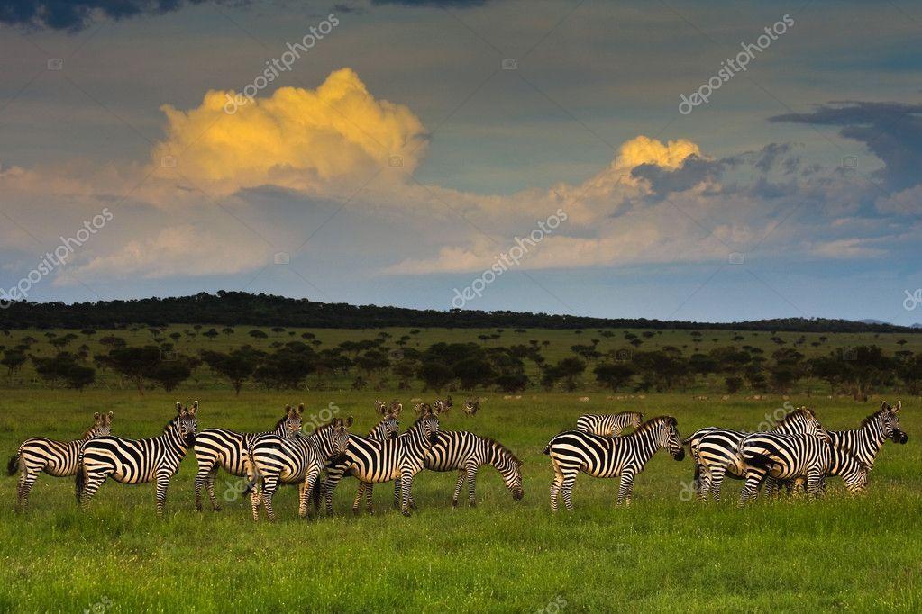 Zebra Herd at Sunset