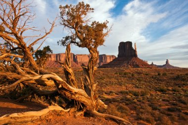 Juniper in Monument Valley