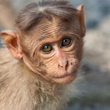 Baby Bonnet Macaque Portrait
