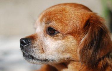 Cute pekingese dog sniffing