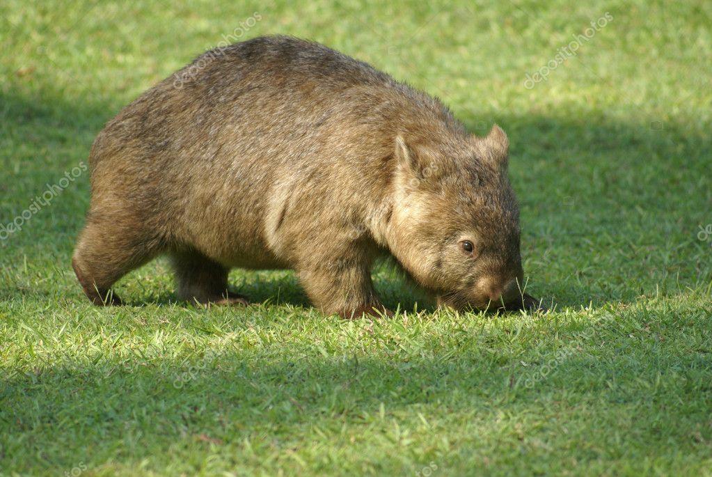 Australischer Wombat