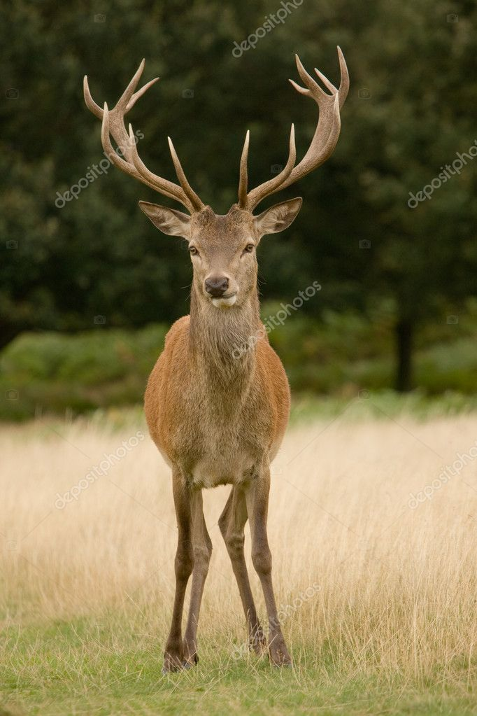 Deer Stag, with antlers