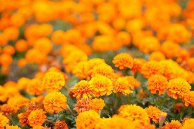 Geranium orange flowers