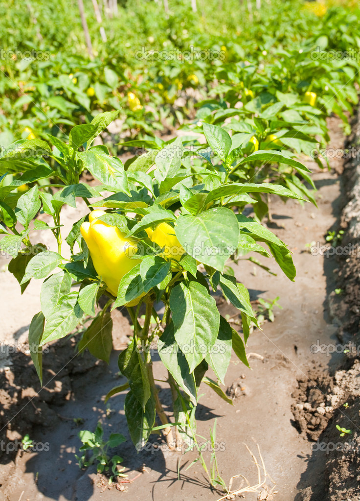 Green peppers in the garden