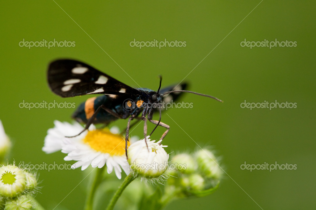 Butterfly pollenizing flowers