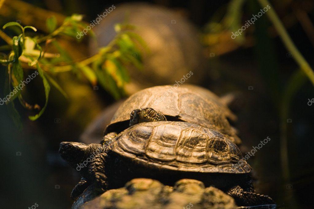 Turtles resting