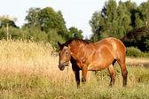 velký kůň