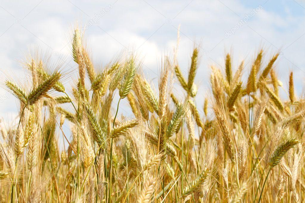 Closeup of a golden wheat