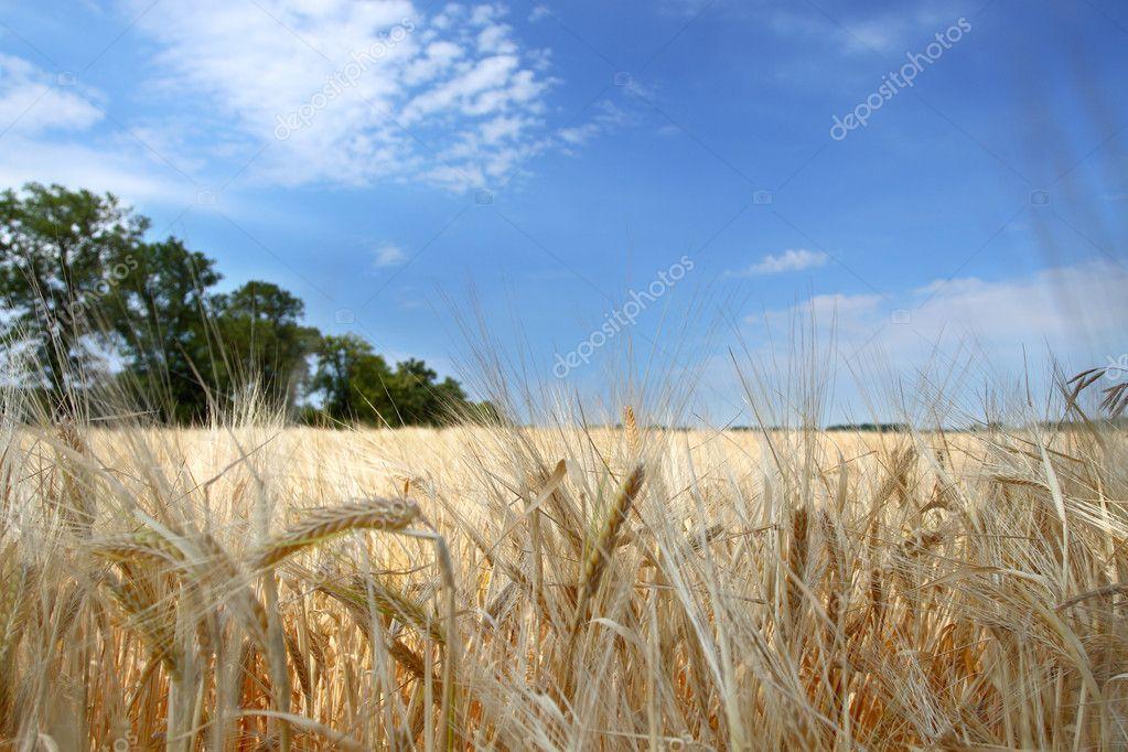 Closeup of wheat
