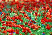 Photo Poppy - garden flowers