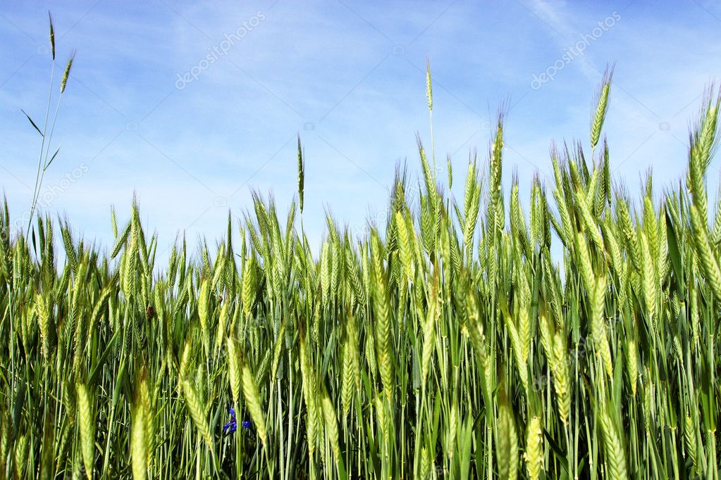 Spring scene - wheat with blue sky