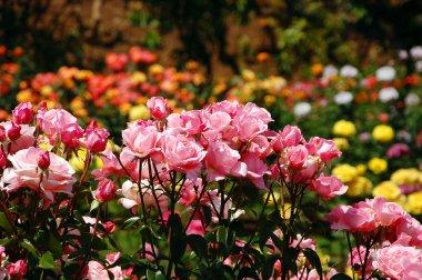 Garden of pink roses