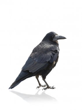 Isolated Crow