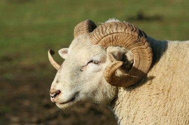 Male ram sheep