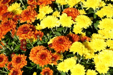 Autumn mum flowers