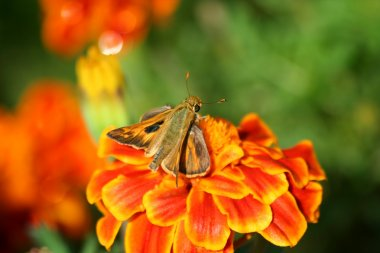 Hummingbird moth on a marigold