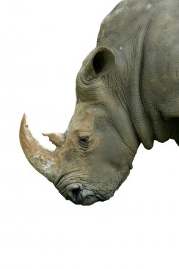 Isolated White Rhinoceros head on white