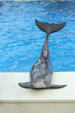 Dolphin sitting on the edge of a pool