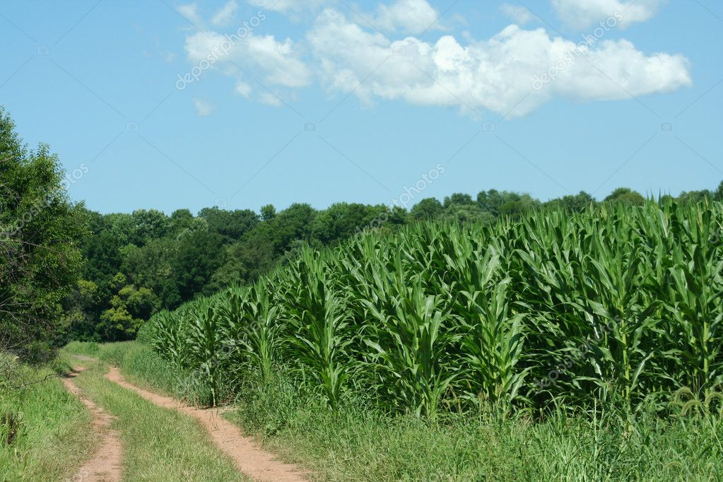 Dirt Road and Cornfield
