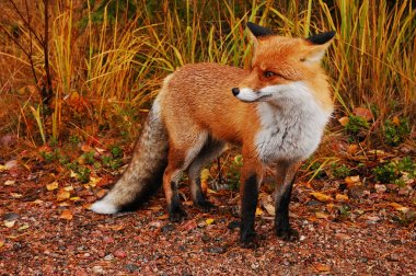 Fox in its natural habitat stock vector