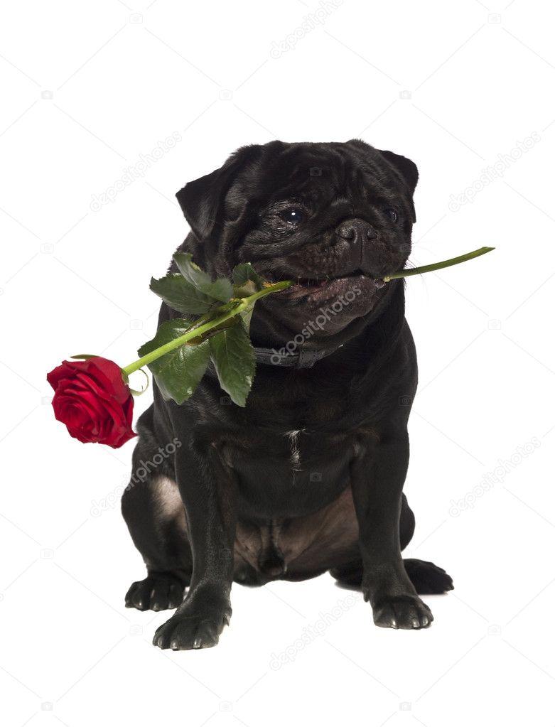 Negro Pug Con Una Rosa En La Boca Stockfoto Gemenacom 2065305