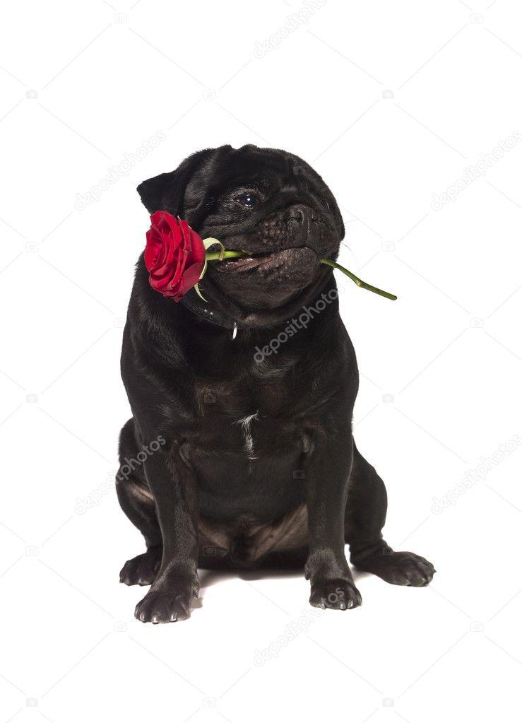 Negro Pug Con Una Rosa En La Boca Stockfoto Gemenacom 2065327
