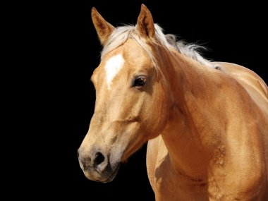 Close-up golden palomino horse