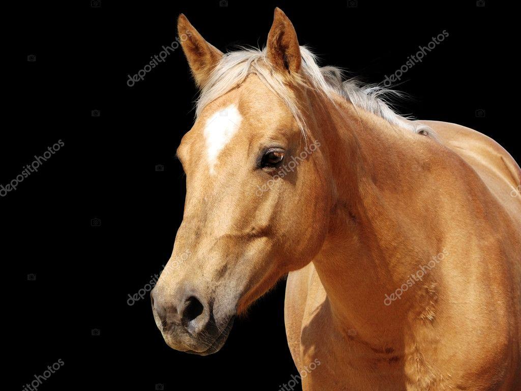 Close-up golden palomino horse