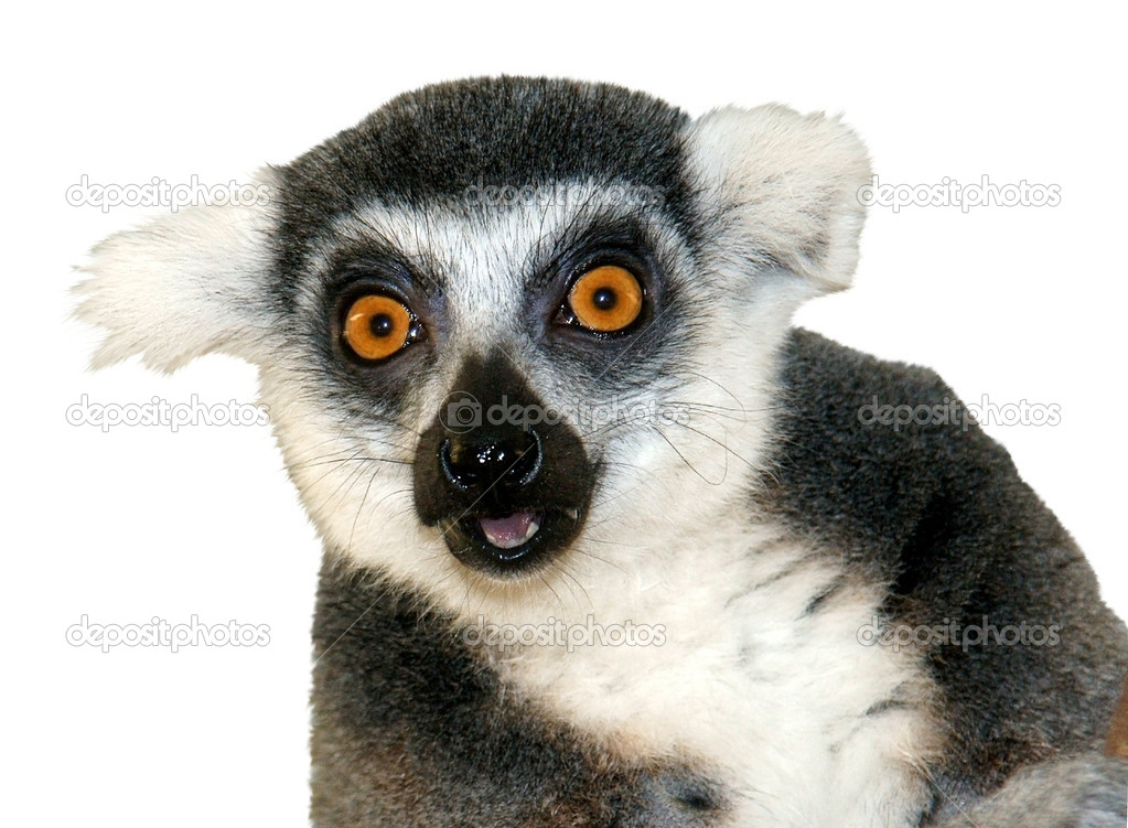 Close-up of ring-tailed lemur