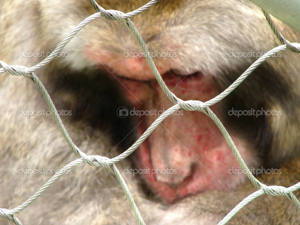 Close-up of a captive Japenese Macaque