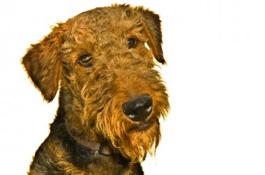 Airedale terrier dog isolated on white