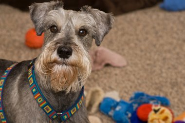 Playful gray miniature schnauzer dog
