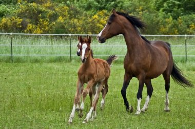Galloping horse family