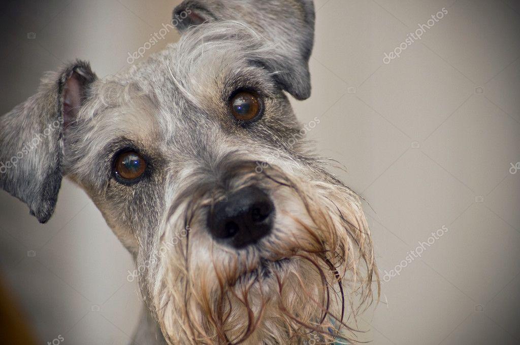 Zwergschnauzer Hund mit braunen Augen — Stockfoto