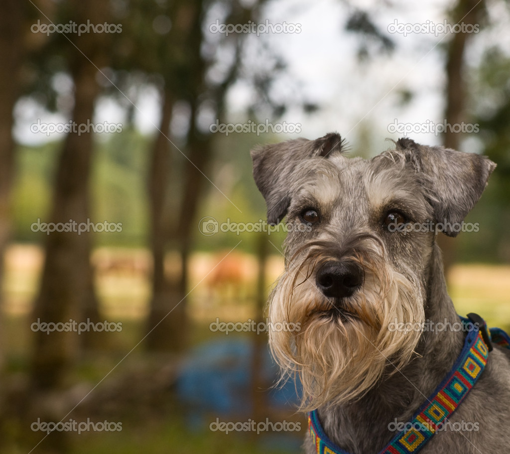 Miniature schnauzer dog outdoors